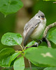 Immature Tufted Titmouse