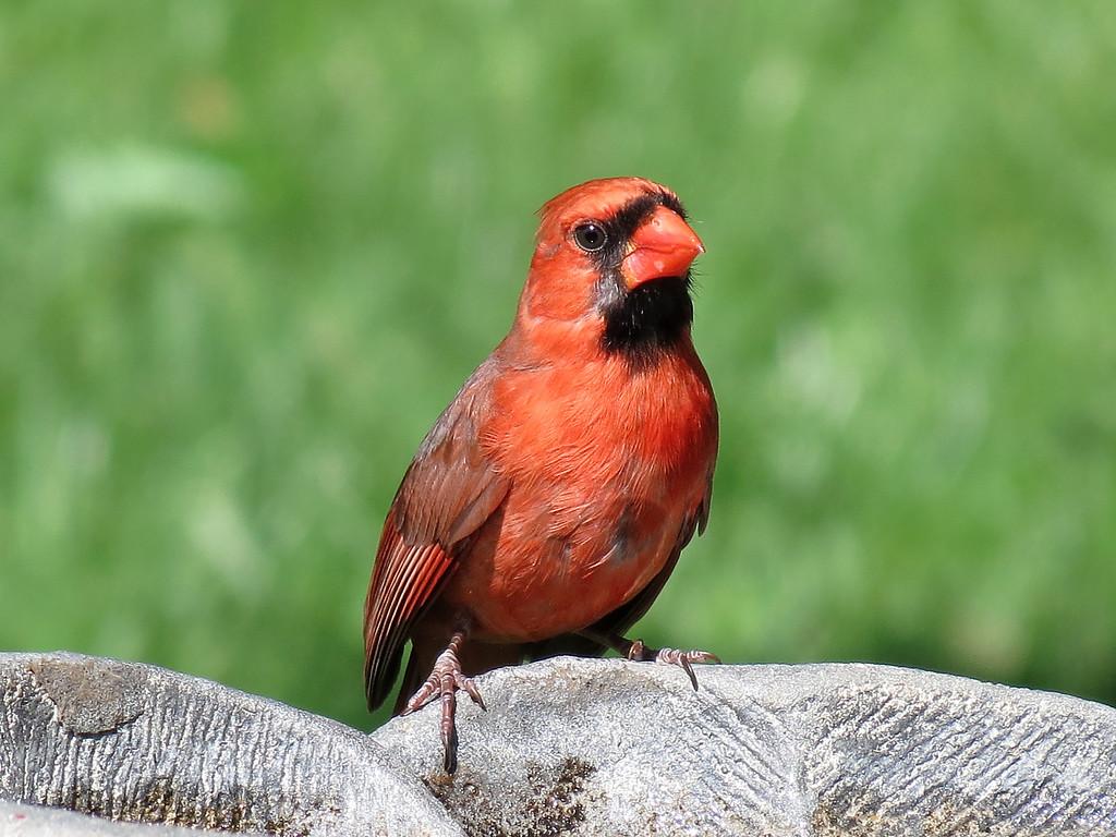 Cardinal at the birdbath.