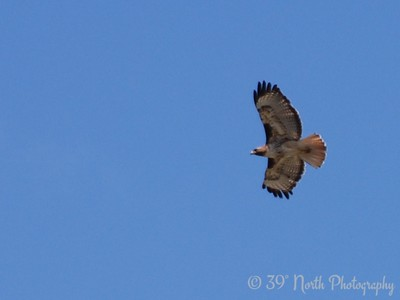 Red-Tailed Hawk Lakewood, CO
