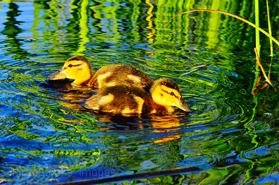 Baby Ducks, Spring 2018,