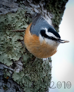 A Red-breasted Nuthatch (Sitta canadensis) pauses for lunch