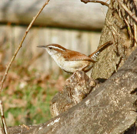 Carolina Wren<br /> Wrentham, MA<br /> © WEOttinger, The Wildflower Hunter - All rights reserved<br /> For educational use only - this image, or derivative works, can not be used, published, distributed or sold without written permission of the owner.