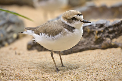 Snowy Plover at the Monterey Bay Aquarium