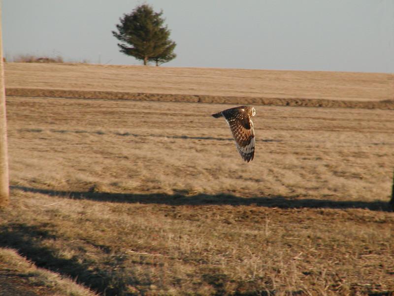 Short-eared Owl<br /> Gettysburg, Pennsylvania