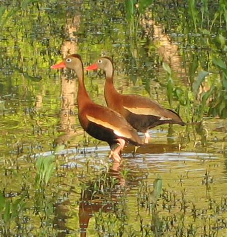 Two black-bellied whistling-ducks (Dendrocygna autumnalis) in early morning light (187_8735)