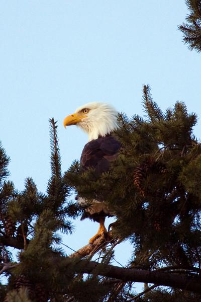 Eagle in the eagle tree.