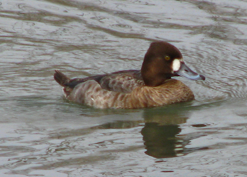 A female lesser scaup (Aythya affinis) swimming in White Rock Lake (20080314_02701)