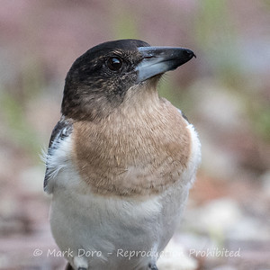 Young Butcherbird, Boat Harbour, NSW
