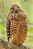 Red Shouldered Hawk Buteo lineatus