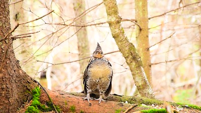 Partridge, Ruffled Grouse, Looking For A Mate 282 (1)