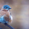 February 2018 St. Louis Female Bluebird