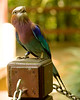 Lilac-breasted Roller  {Coracias caudata}<br /> Jurong Bird Park <br /> Singapore <br /> © WEOttinger, The Wildflower Hunter - All rights reserved<br /> For educational use only - this image, or derivative works, can not be used, published, distributed or sold without written permission of the owner.