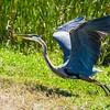 Great Blue Heron in Breeding Colors