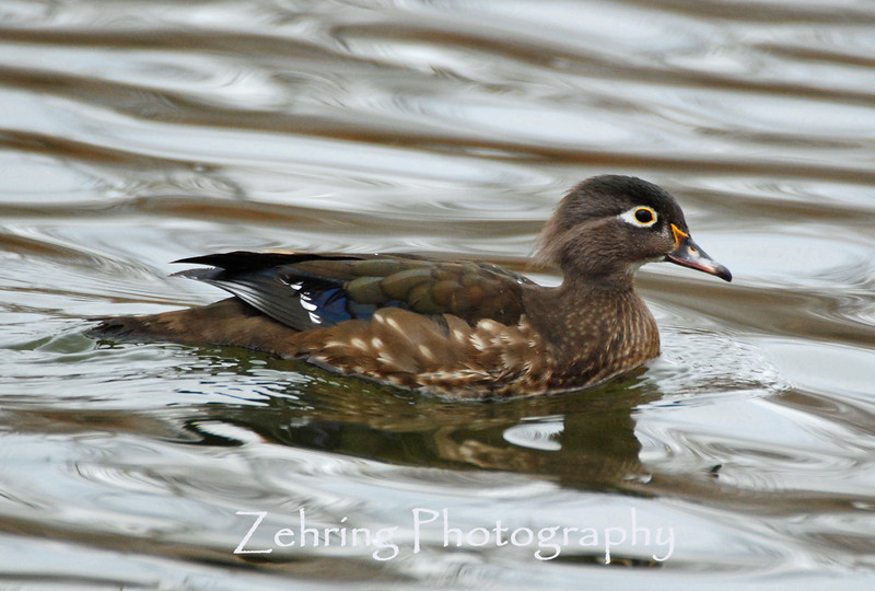 One of the most beautiful of the duck species even this  female wood duck (not as colorful as the male) is a stunning bird.