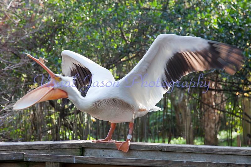bellicose white Pelican