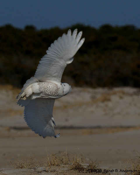 Snowy Owl flight<br /> Assateague Island National  Seashore, Maryland<br /> December 2008