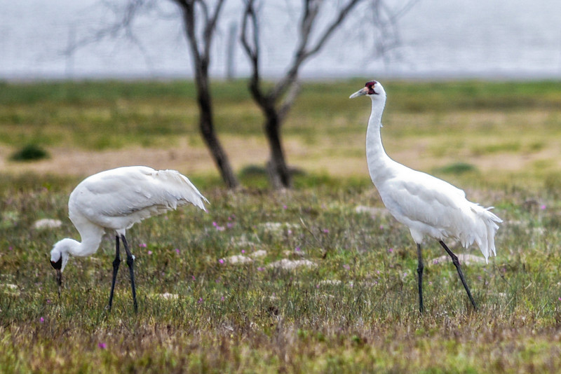 Whoopers In The Wild