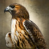Red Tailed Hawk - A Portrait