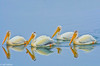 White Pelicans at Bodega Bay 6-1-14 #33-2