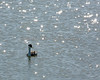 Western Grebe in the sparkling waters of the San Francisco Bay.