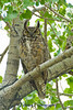 This great horned owl almost perfectly matches the colors of her surroundings.