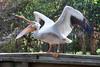 angry white pelican<br /> Pelicanus erythrorhyncos