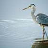 Grey Heron (Ardea cinerea)<br /> Amboseli National Park, Kenya<br /> IUCN Status: Least Concern