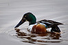 Shoveler in partial eclipse