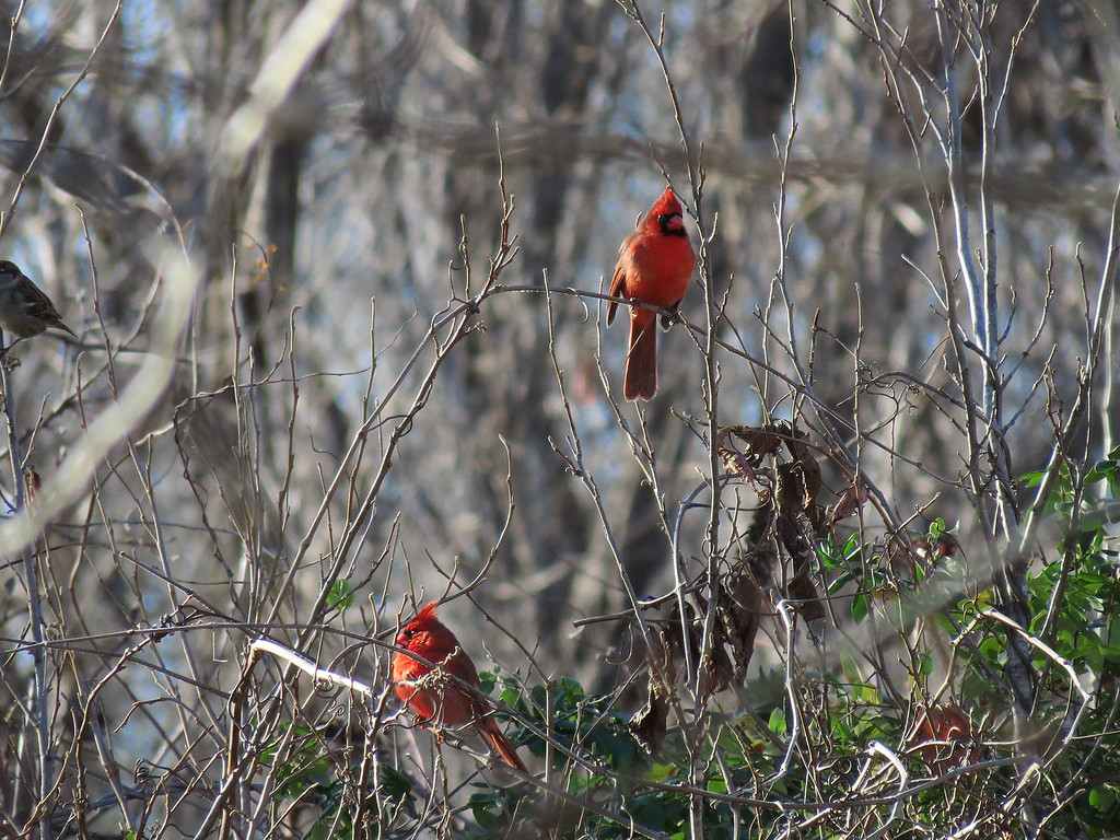 Two red Cardinals at the back of the yard on a cold but sunny afternoon.