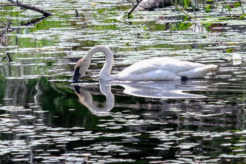 Beautiful Swan Reflections