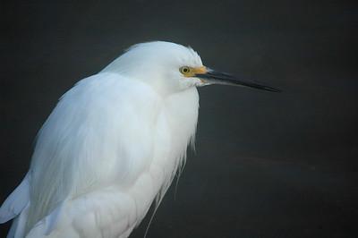 Portrait of a snowy egret.
