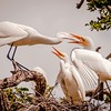 Feeding Time for Egret Chicks