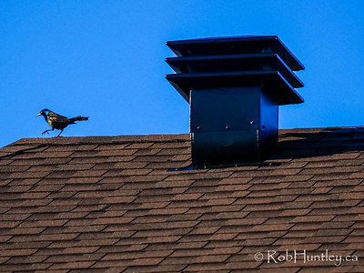 Grackle marching on the roof.