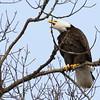 Screaming Eagle 1