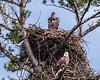 Juvenile and Mature Bald Eagles