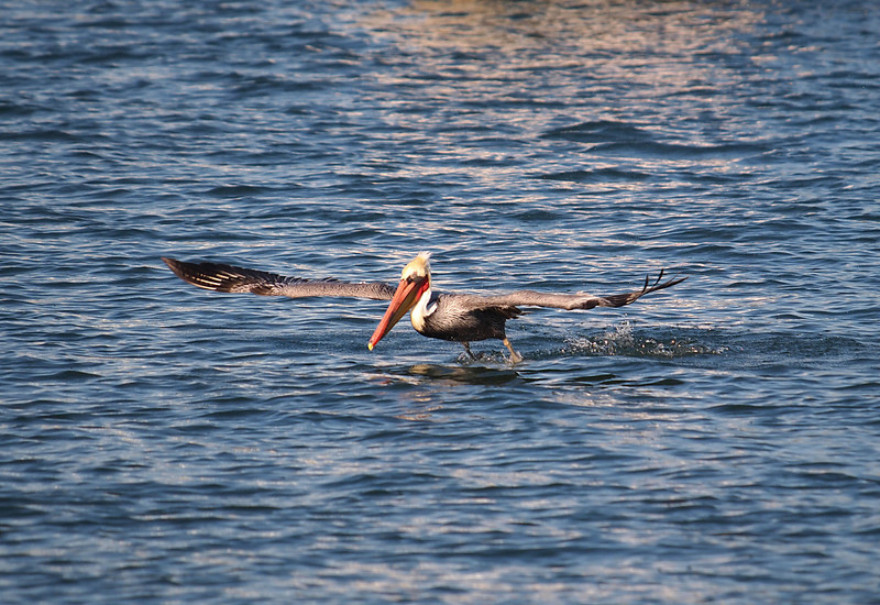 Brown Pelican at Alamitos Bay - 26 Nov 2010
