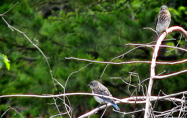 Two eastern bluebird (Sialia sialis) fledglings perched on a fallen tree (IMG_1968)