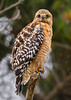 Red-shouldered Hawk Buteo lineatus
