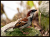 House Sparrow<br /> (Passer domesticus)