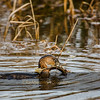 Pied-billed Grebe with Frog