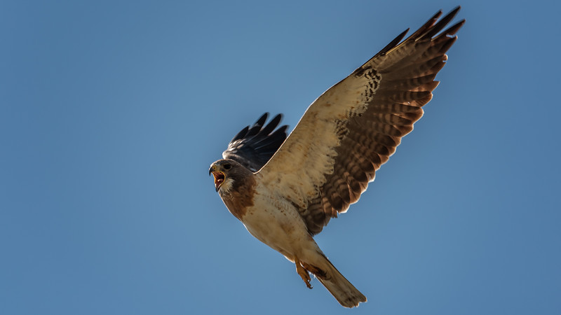 Swanson's Hawk #2