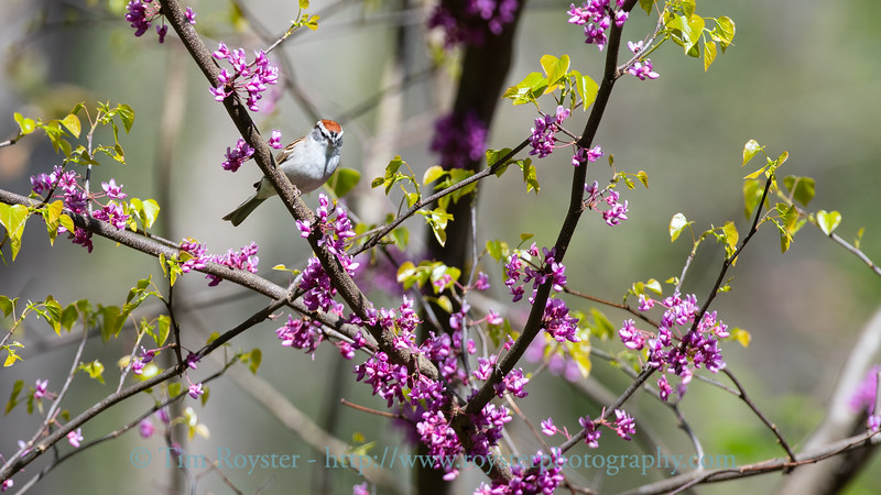 Chipping Sparrow in Redbud tree
