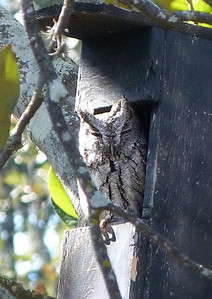 P120SCREECHowlFem12-28-12-906 Dec. 28, 2012  12:42 p.m.  P1200906 The Screech Owl box at 2601 got this winter resident by mid-December, and she came in every morning until late January, when we hope she found a mate with better digs.  She was good at keeping squirrels from moving in.
