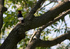 Red-headed Woodpecker. This is the first time I have ever seen one. I've heard them in the woods and seen their work.