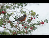 A robin on a holly bush in Toronto on New Year's Day.  So much for that bird being a sign of Spring.