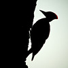 Pileated Woodpecker (Dryocopus pileatus)<br /> Near South River, Virginia, USA<br /> IUCN Status: Least Concern