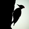 Pileated Woodpecker (Dryocopus pileatus)<br /> Near South River, Virginia, USA<br /> IUCN Status: Least Concern