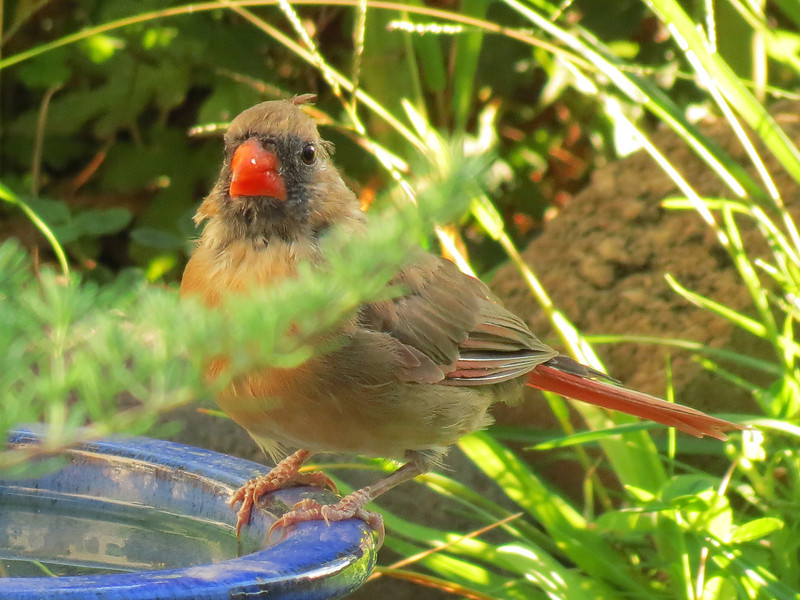 This shy and timid Cardinal preferred to drink in the small blue<br /> bowl on the corner of the brick patio. Her beak is all shiny and wet.