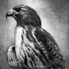 Red Tailed Hawk In Black And White