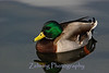 Although the mallard is one of the more comon ducks in Northern Nevada, there is nothing ordinary about his colorful plumage.
